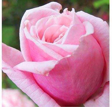 rosefin